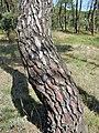 Pinus pinea. Piñonal.jpg