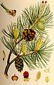 Pinus sylvestris tall.jpg