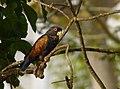 Pionus chalcopterus (Cotorra maicera) - Flickr - Alejandro Bayer (12).jpg
