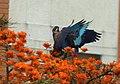 Pionus chalcopterus (Cotorra maicera) - Flickr - Alejandro Bayer (7).jpg