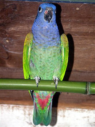 Blue-headed parrot - Image: Pionus menstruus