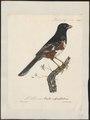 Pipilo erythrophthalmus - 1825-1834 - Print - Iconographia Zoologica - Special Collections University of Amsterdam - UBA01 IZ16000275.tif