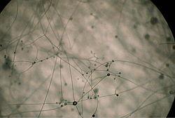 Piptocephalis sp001.jpg