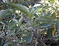 Pipturus argenteus fruit.jpg
