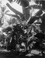 Pisang kepok, en bananart, i en trädgård. Buton, Sulawesi. Indonesien - SMVK - 000297.tif