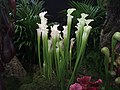 Pitcher plants at Malvern. - geograph.org.uk - 1185929.jpg