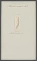 Planaria radialis - - Print - Iconographia Zoologica - Special Collections University of Amsterdam - UBAINV0274 105 05 0006.tif