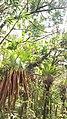 Plantes sauvage accrochés aux arbres, Soufrière, Guadeloupe, août 2018, AnnStr.jpg