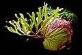 Platycerium ridleyi.jpg