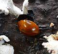 Pleasing Fungus Beetle . Erotylidae. - Flickr - gailhampshire.jpg