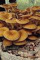 Pleuretus spp. (29419369743).jpg
