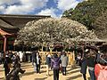 "Plum tree ""Tobiume"" in front of Gohonden of Dazaifu Temman Shrine.jpg"
