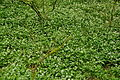 Plymbridge Woods (3473).jpg
