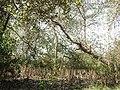 Pneumatophores of Avicennia by Dr. Raju Kasambe DSCN9864 (15).jpg