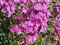 Poland. Flowers 002.jpg