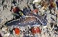 Polycera hedgpethi from Santa Cruz, California.jpg