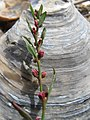 Polygonum oxyspermum subsp. raii inflorescence (09).jpg