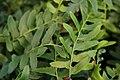 Polystichum acrostichoides 8zz.jpg