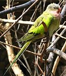 Green parrot with grey head, pink throat, yellow back, and dark wing tips