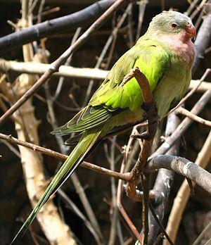 Princess parrot - Image: Polytelis alexandrae 03