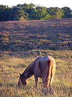 File:Pony and bird in the bog west of Ferny Crofts, New Forest - geograph.org.uk - 223455.jpg