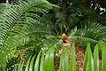 Poor Man`s Cycad (Encephalartos villosus) (30830910010).jpg