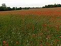Poppies, Thruxton - geograph.org.uk - 471564.jpg