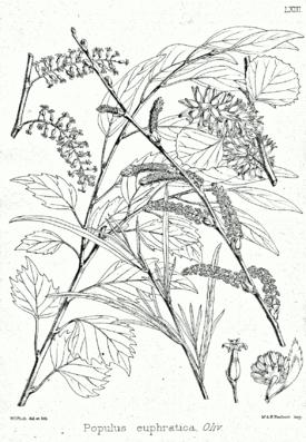 Populus euphratica Bra63.png