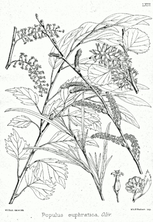 Populus euphratica - Leaves, flowers and fruits, illustration from Forest Flora of North-West and Central India, published 1874 by Kurt Stüber