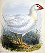 Porphyrio albus 1873.jpg