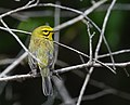 Portrait of a male Prairie Warbler busy acourtin' (47009448314).jpg