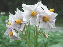 250px Potato blossom