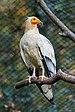 Prague 07-2016 Zoo img15 Neophron percnopterus.jpg