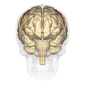 Precentral gyrus - anterior view.png