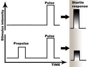 Prepulse inhibition - Prepulse inhibition: preceding stimulus attenuates the startle response.