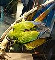 Primolius maracana stuffed specimens Berlin.jpg