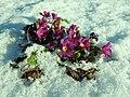 Primula juliae 2019-01-03 5251.jpg
