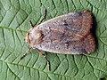 Protolampra sobrina - Cousin German - Земляная совка красноголовая (39288838920).jpg