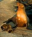 Proud of her Newborn Sea Lion (6519208021).jpg