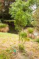 Prumnopitys ladei, Christchurch Botanic Gardens.jpg
