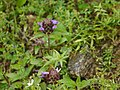 Prunella vulgaris (7764451670).jpg
