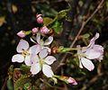 Prunus nipponica (bud).JPG