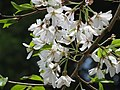 Prunus pendula f ascendens1.jpg