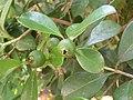 Psidium cattleianum sabine.jpg