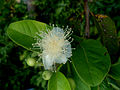 Psidium guajava (Guava flower) at Bhadrachalam 01.JPG
