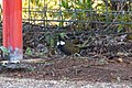 Psophodes olivaceus (35288779325).jpg
