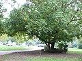Pterocarya-fraxinifolia-uncertain-0555.JPG