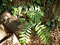 Pterocarya stenoptera-Jardin des plantes 02.JPG