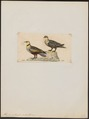Pterocles gutturalis - 1820-1860 - Print - Iconographia Zoologica - Special Collections University of Amsterdam - UBA01 IZ16900023.tif