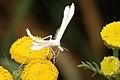 Pterophorus.pentadactyla.jpg